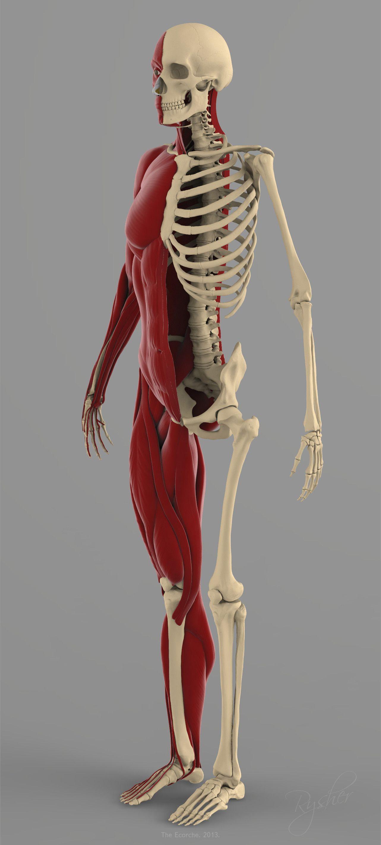 precise human skeleton muscles 3d model | drawings ...