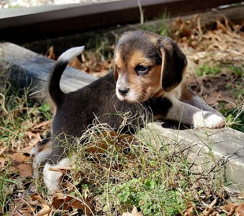 Dogs By 99awesome Baby Beagle Cute Puppies Puppies