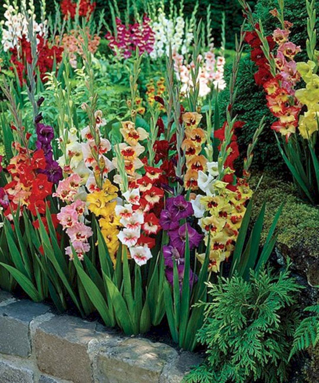 Beautiful 5 Gladiolus Flower Ideas For Your Garden Bulbs Garden Design Flower Garden Garden Bulbs