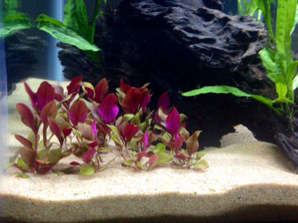 Alternanthera Reineckii Pink Feshwater Aquarium Plant Planted Aquarium Plants Aquatic Plants