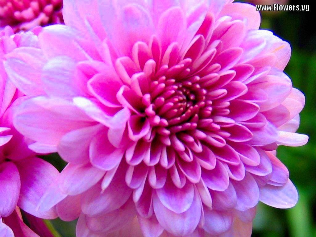 Mums flowers free images, public domain images