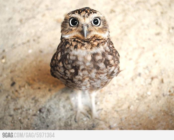Who can resist the eyes of this baby owl?
