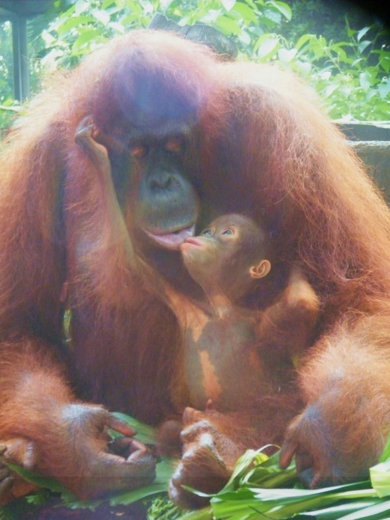 Singapore Zoo With Transfer And Optional Breakfast With Orangutans Singapore Zoo Orangutan Baby Animals