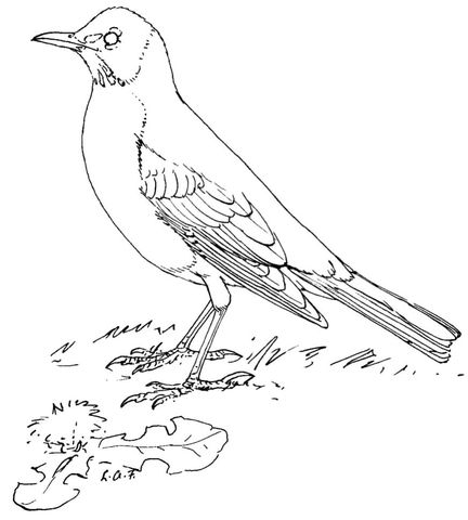 American Robin Coloring Page Bird Coloring Pages Bird Drawings