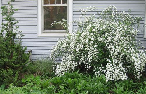 Bridal Wreath Spirea Is Old Fashioned But Always Beautiful