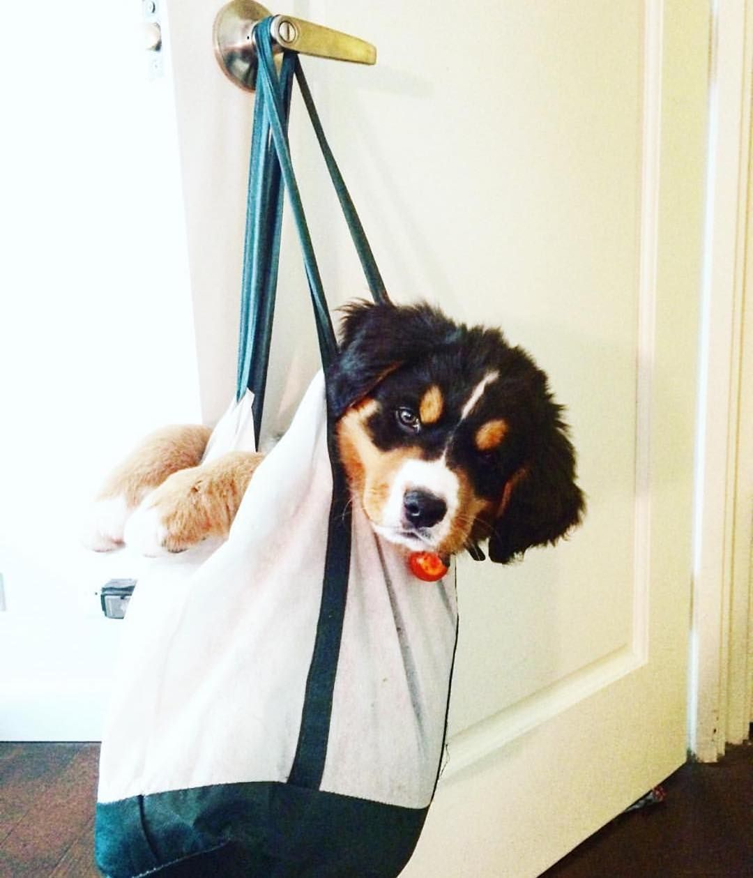 Pin by maggie m on dogs Bernese mountain dog, Bernese dog
