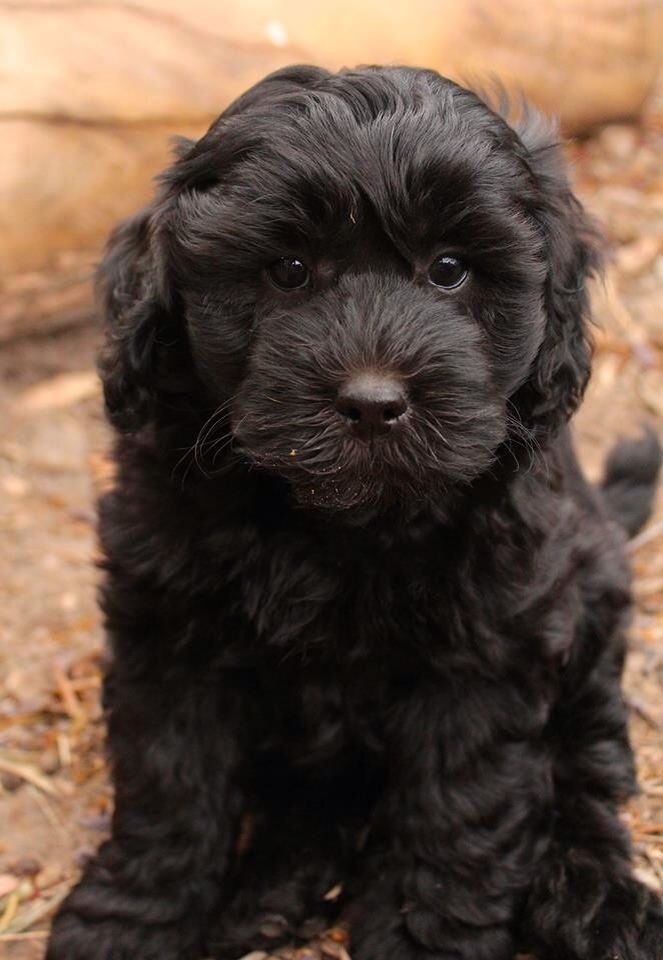 Black Labradoodle Puppy Black Labradoodle Puppy Fluffy Animals Labradoodle Puppy