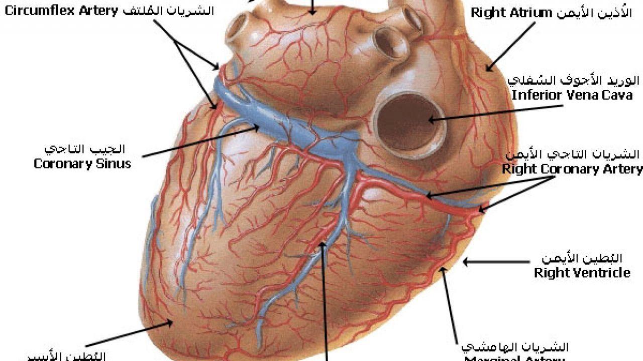 أهمية القلب في جسم الإنسان Human Body Body Human