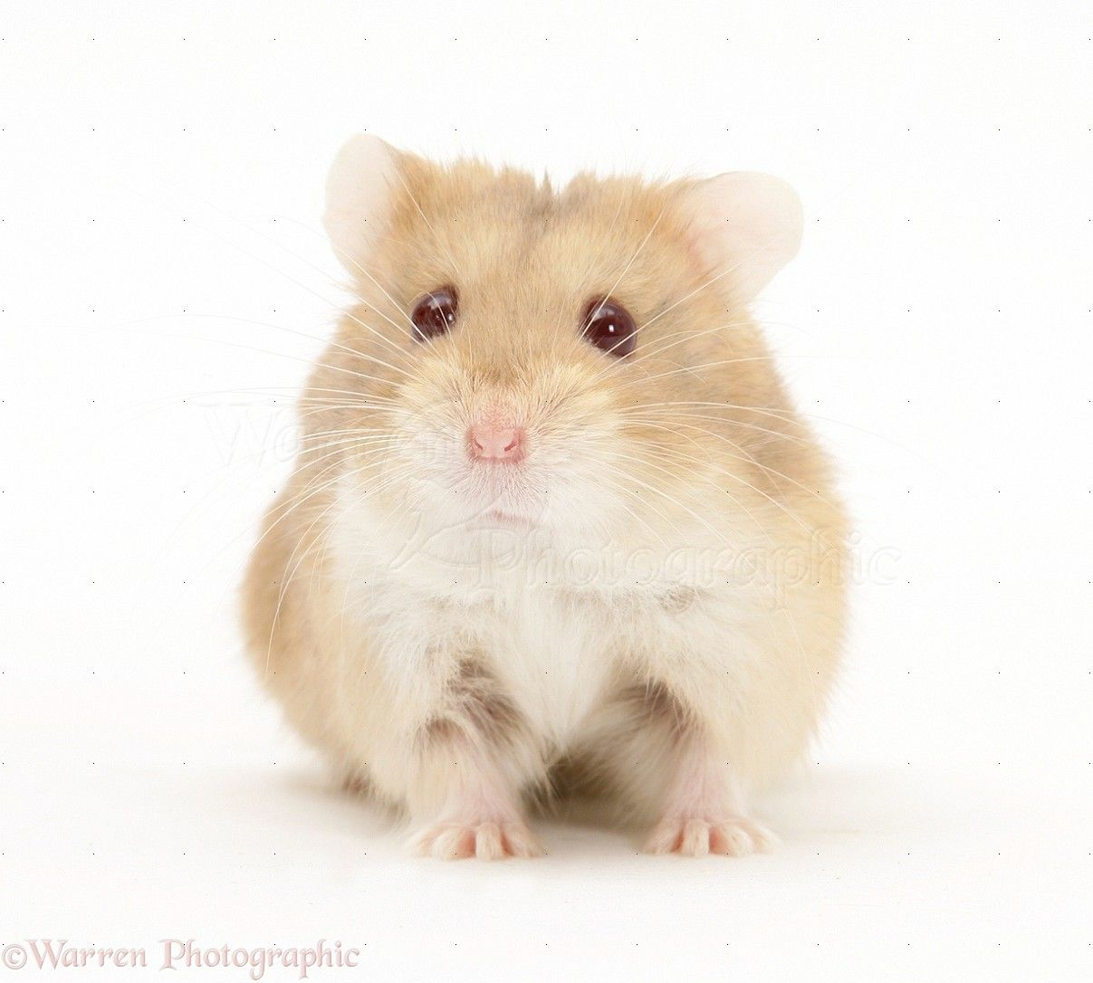 Information About Winter White Dwarf Hamster Care And Facts Hamsters As Pets Hamster Bear Hamster