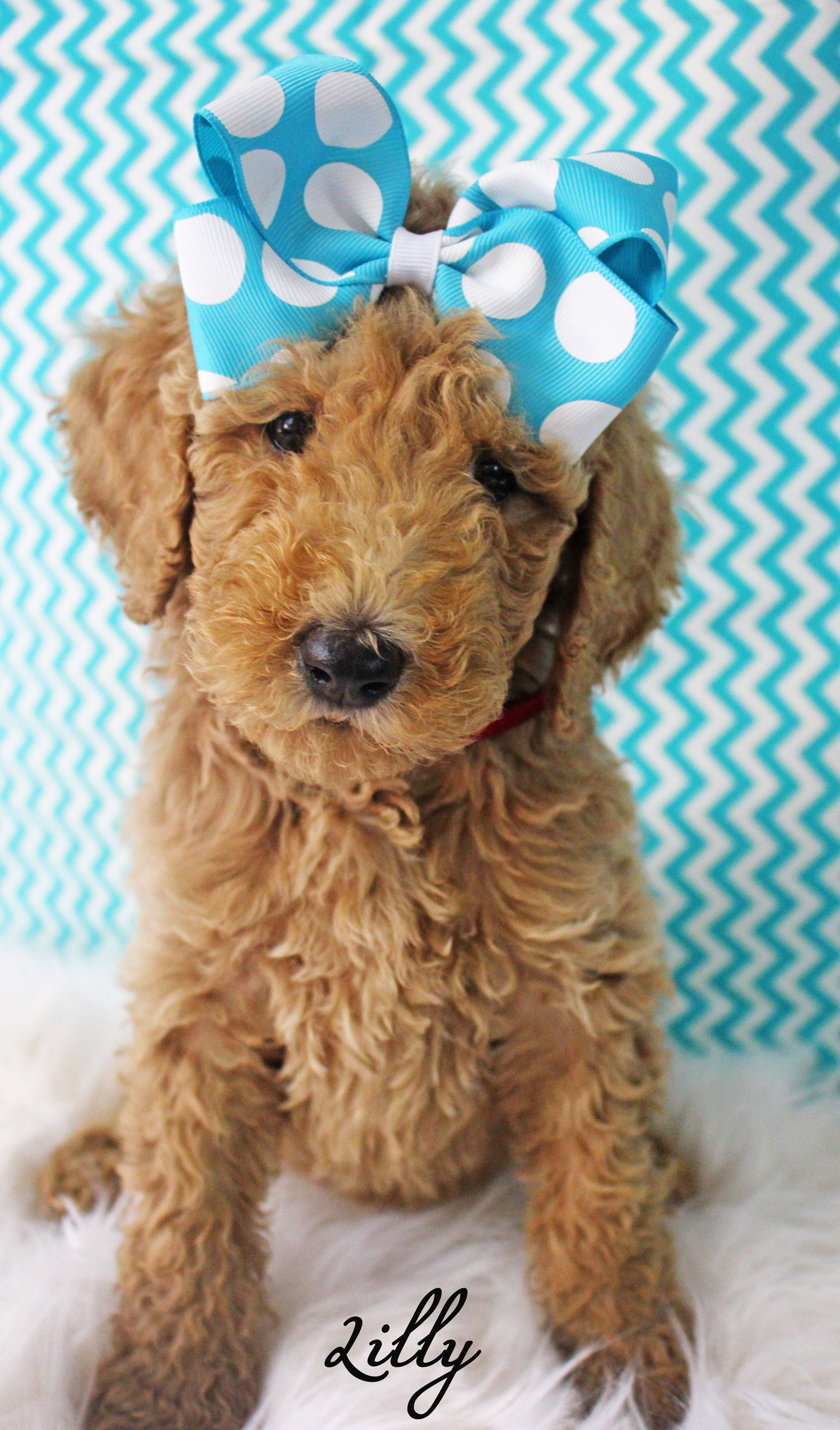 Apricot AKC 7 week old standard poodle puppy  Pet photography  Cute