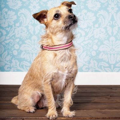 Mutts Glorious Mutts Terrier Mix Border Terrier Miniature