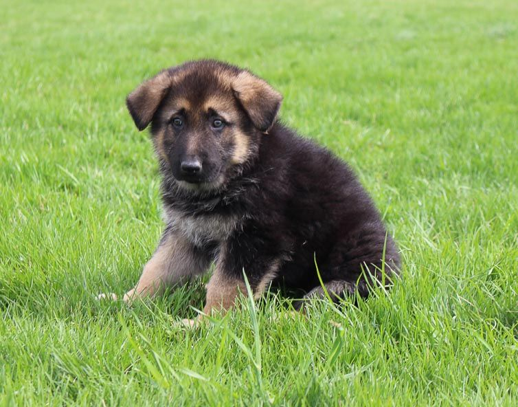 Ben Male Akc German Shepherd Puppy For Sale In Millersburg In