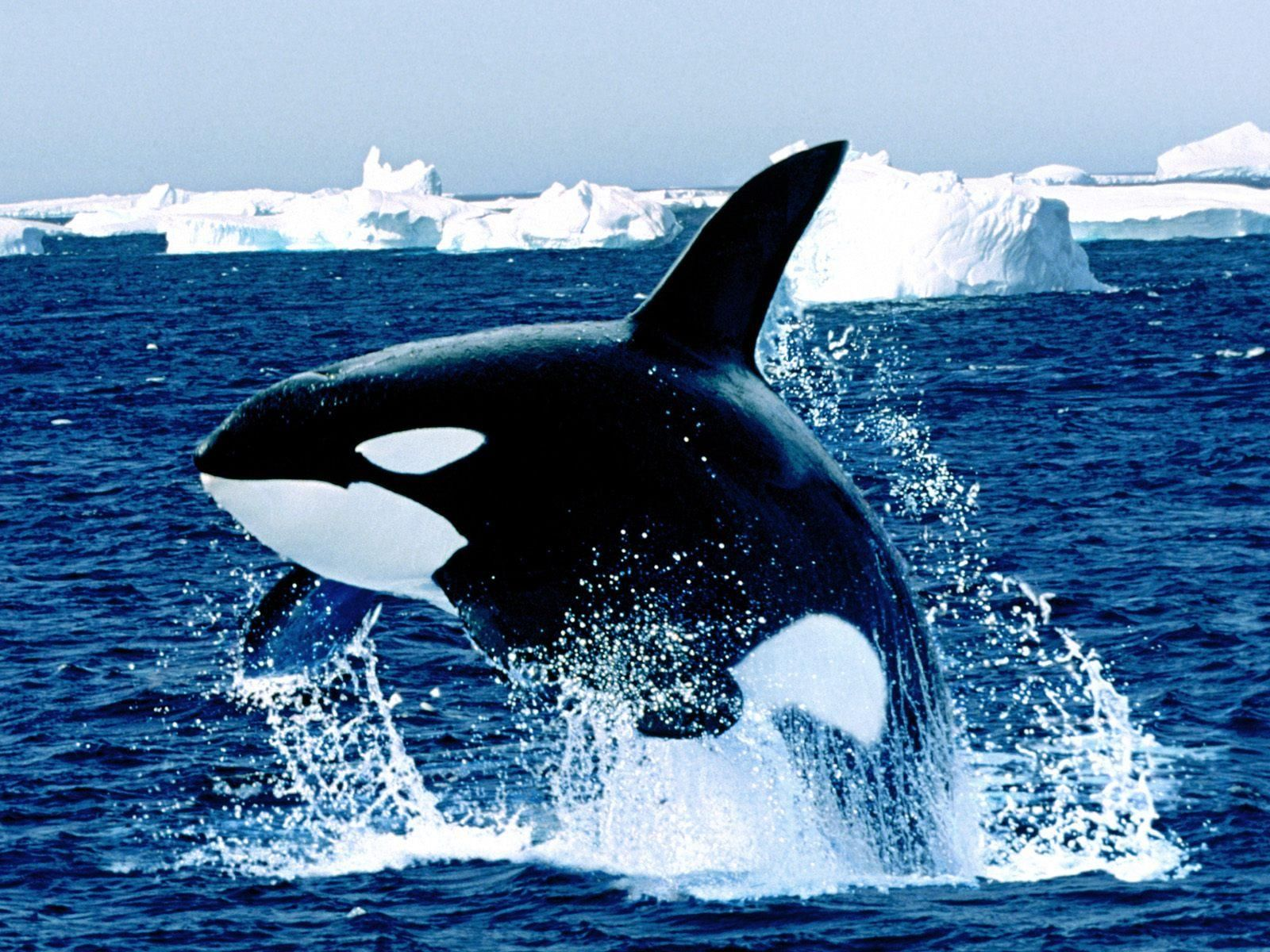 Orca Hd Wallpaper Jpg 1600 1200 シャチ オルカ クジラ