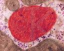Endosymbiosis - 11465a