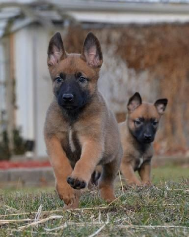 Belgian Malinois puppies for sale at Cher Car Kennels Kutya