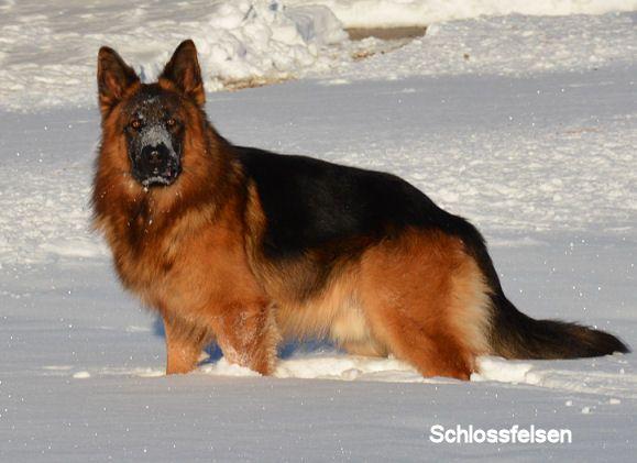 Long Coat German Shepherd Puppies Long Hair German Shepherd