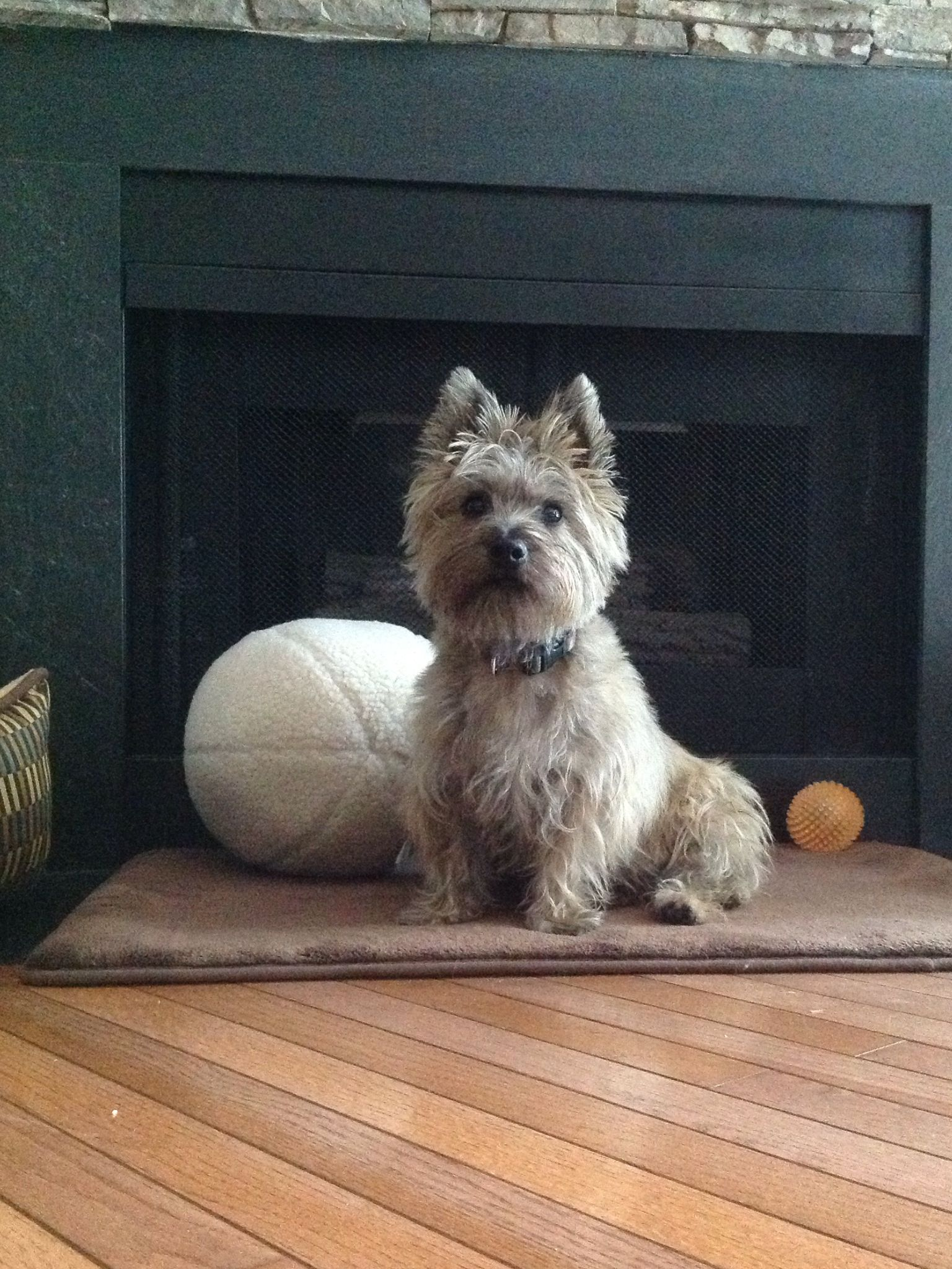 My Fuzzy Got His New 11 Fleece Dog Ball Toy Today Really Cute