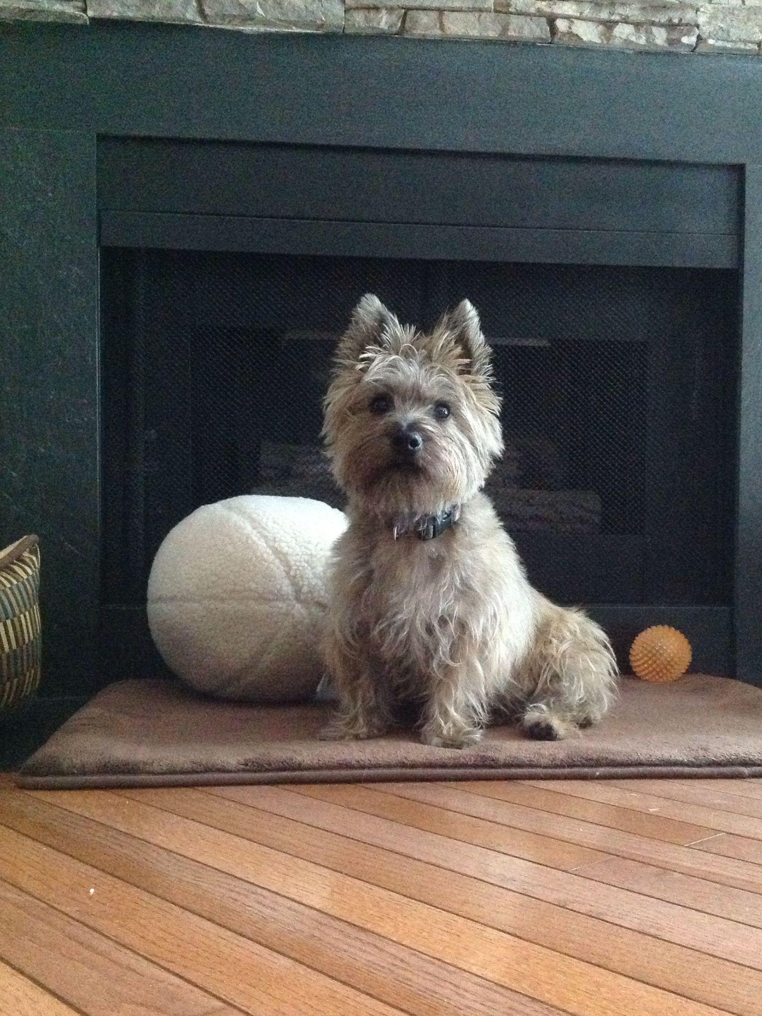 Great Cairn Terrier Ball Adorable Dog - 5728945058ef2e1360aa8aa745d3d1a8  2018_611568  .jpg