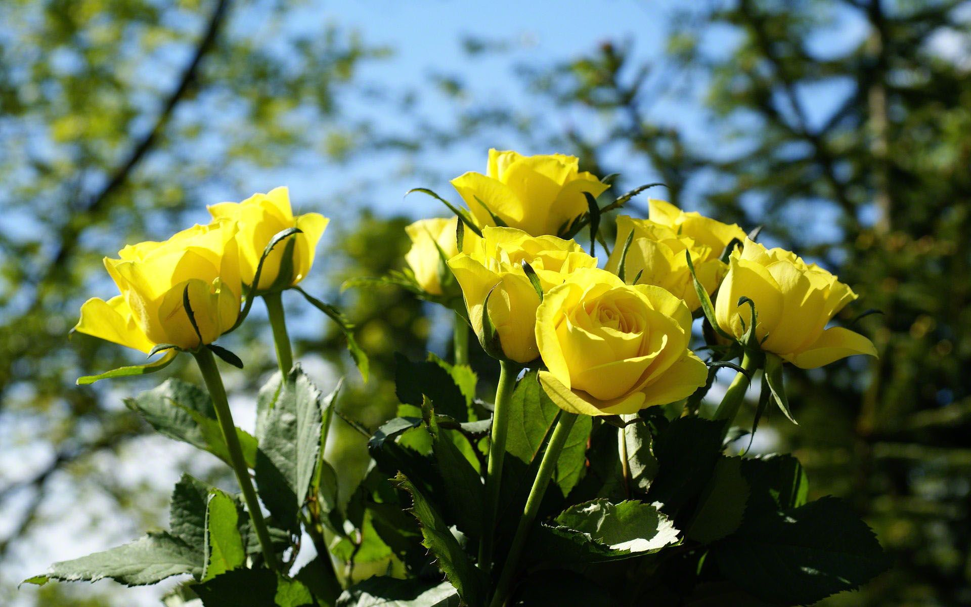 3d Yellow Roses Google Search Rose Flower Wallpaper Yellow Rose Flower Beautiful Flowers Wallpapers