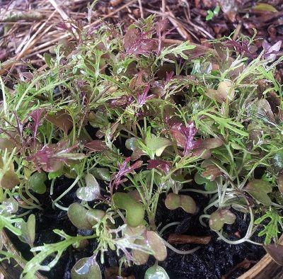 Mini mizuna http://www.gardenware.com.au/articles/veggie-patch-ramblings-april/