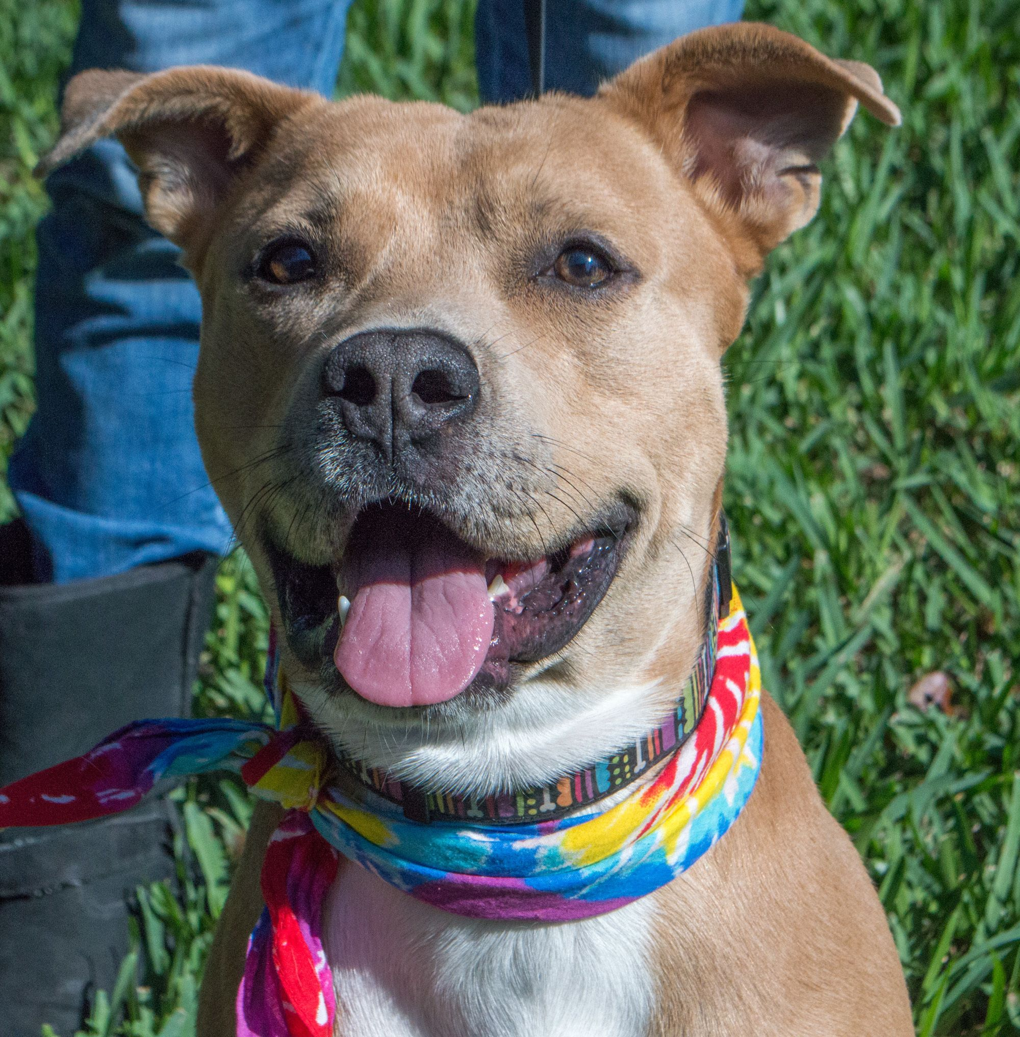 Adopt happy joe luvs to play on with images pitbull