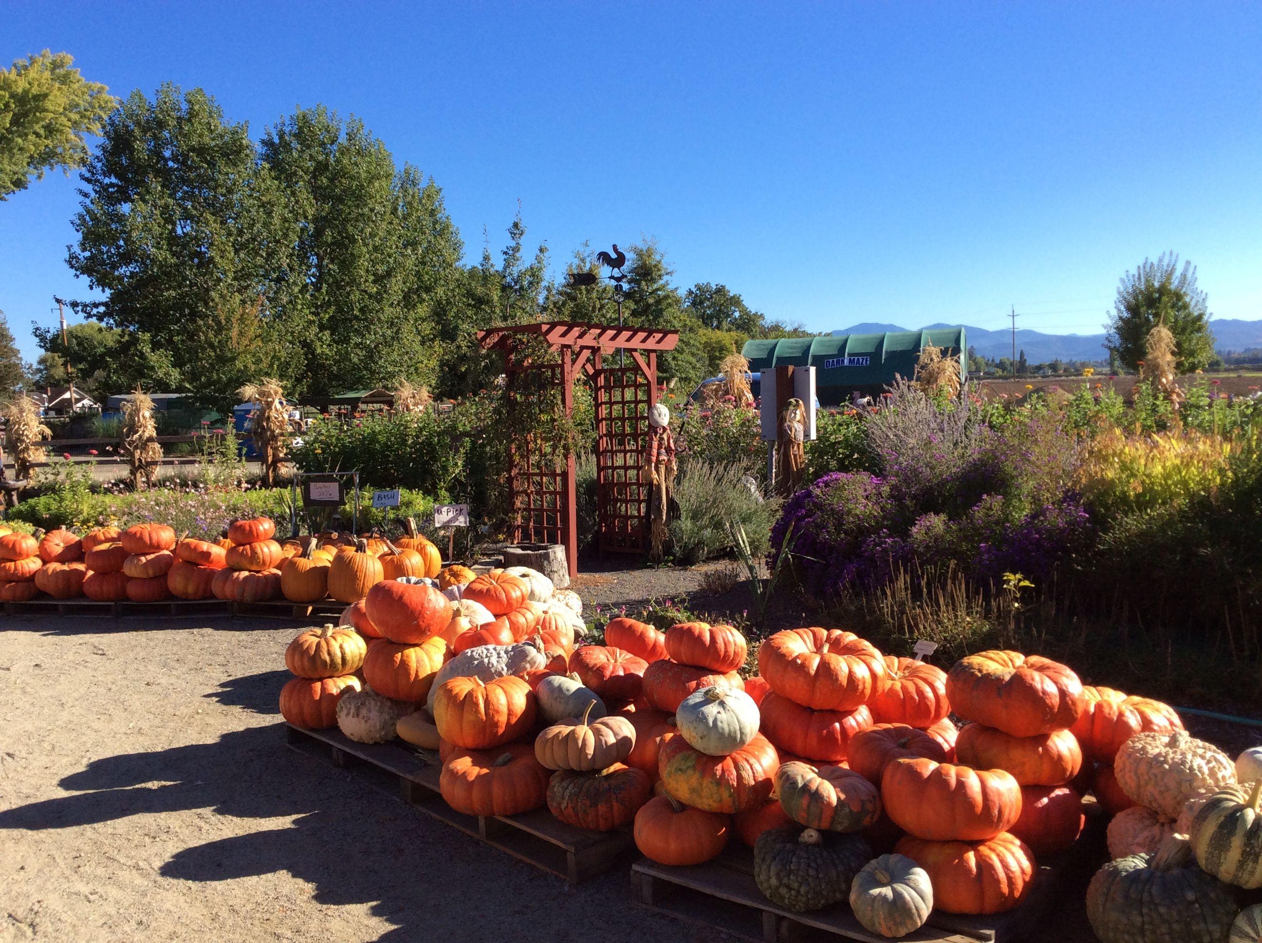 Seven Oaks Farms Central Point Oregon pumpkins