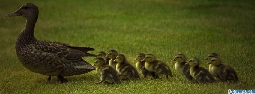 duck and ducklings facebook cover