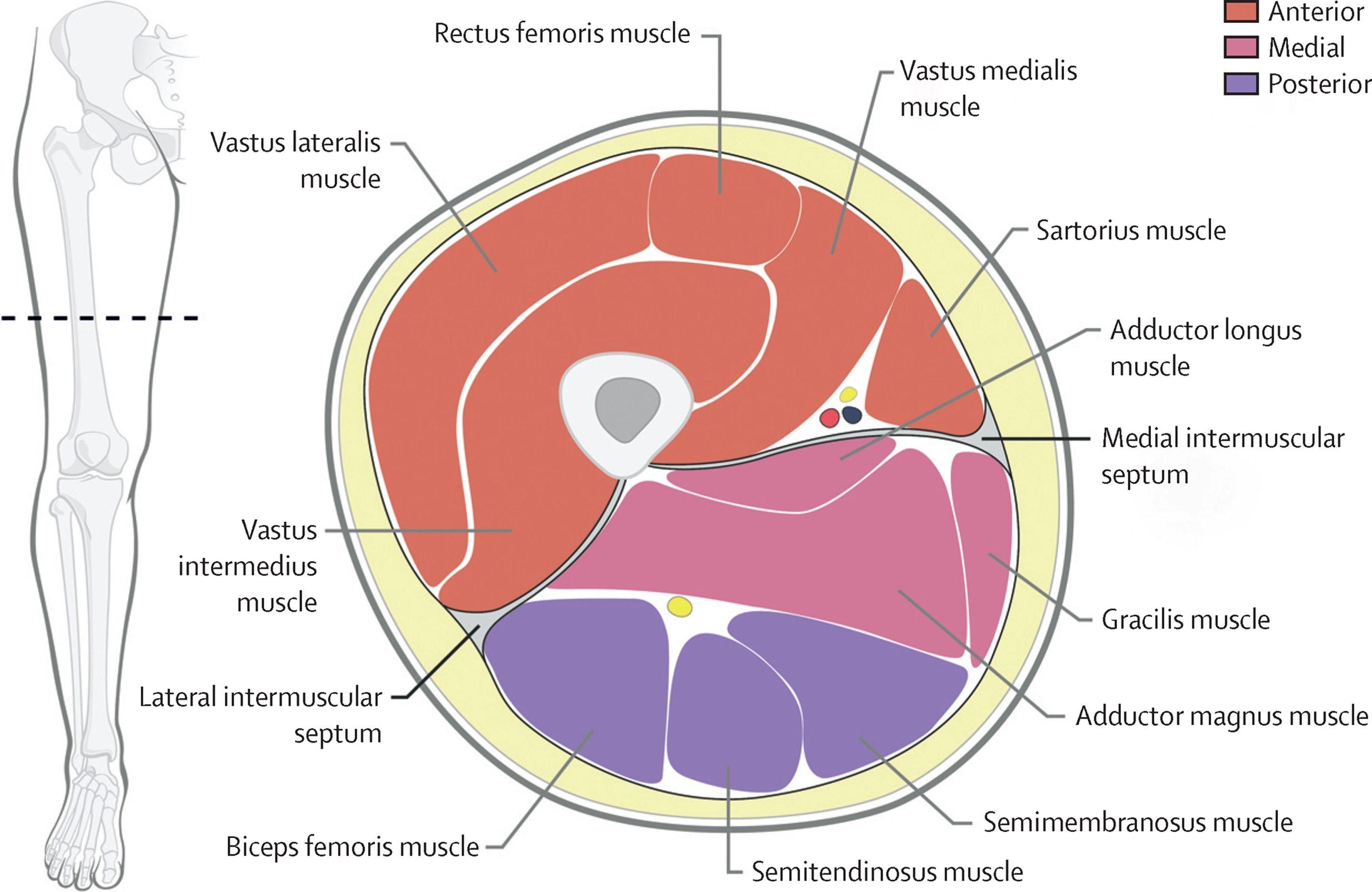 Sección transversal de la anatomía de la pierna Anatomía del ...