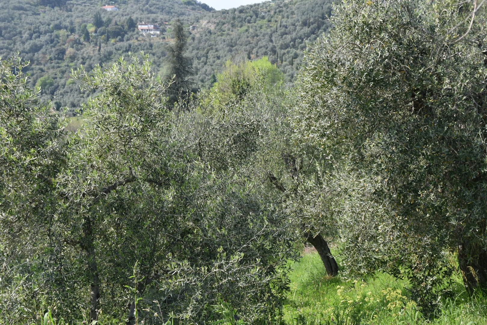 Olive Trees Lucca The Silence Pinterest Tree