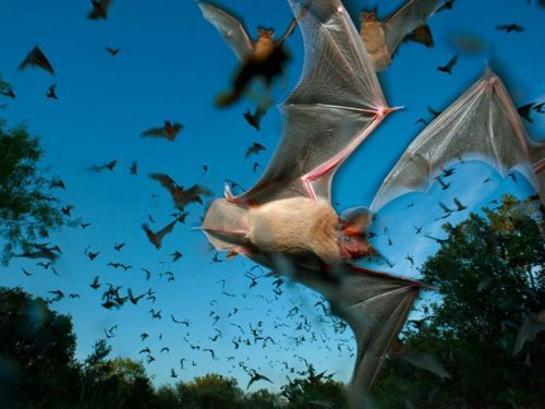 Mexican Free-Tailed Bats, Texas