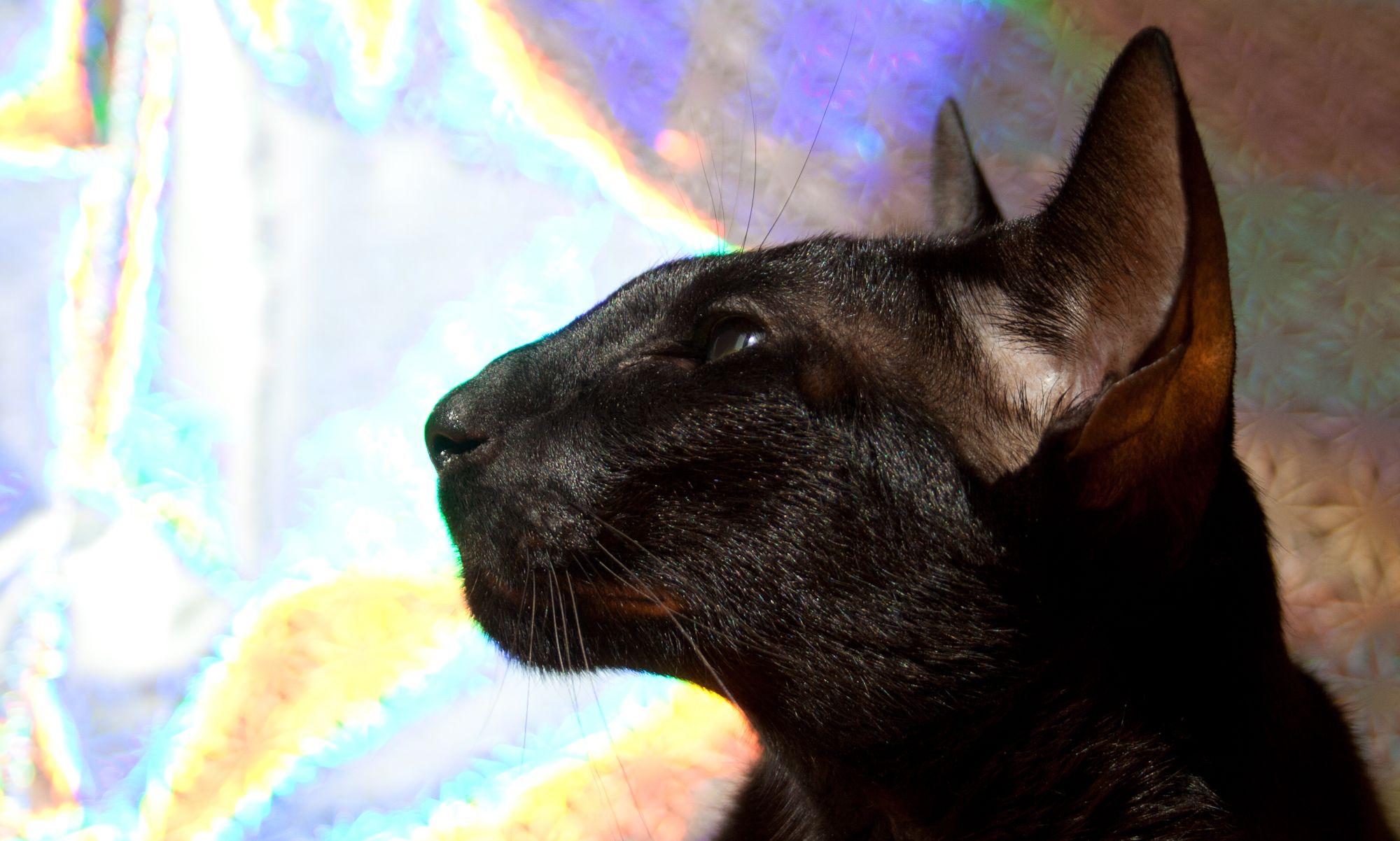 black oriental shorthair cats - Google Search | Orientals ...