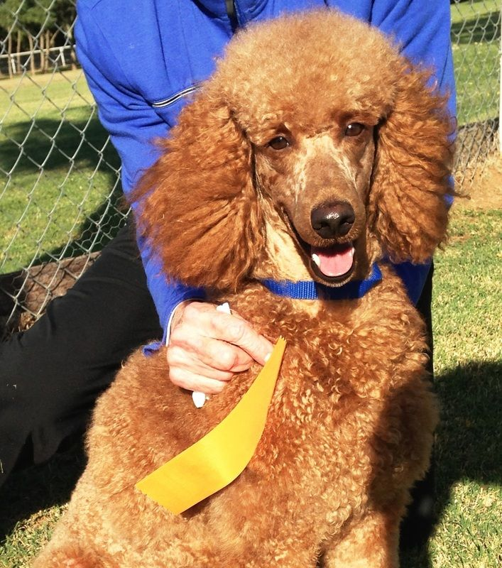 Red Standard Poodle Puppies For Sale In Oklahoma Amp Texas