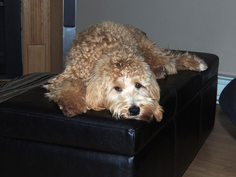 Red goldendoodle puppies for sale california