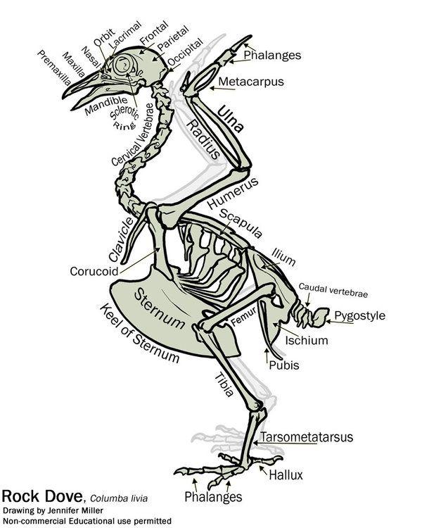 simple bird skeleton diagram by nambroth on deviantart