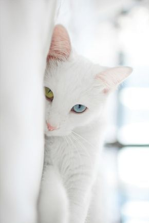 Pin By Graciela On Esta Era Tu Mascota Favorita El Gato - This is pam pam the kitten with heterochromia with hypnotic eyes you just cant stop looking at