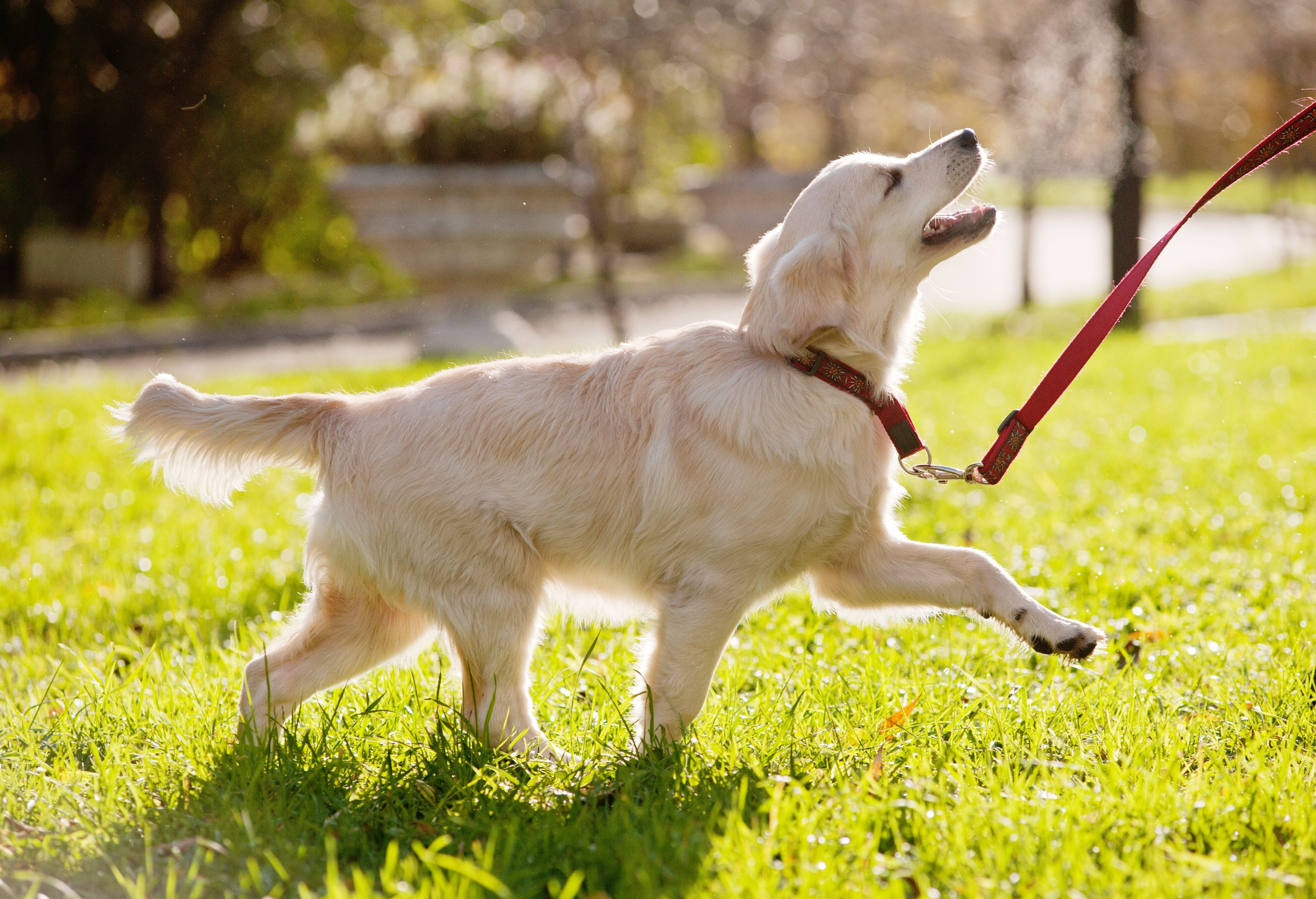 How To Train Your Dog To Run With You Dog Training Training