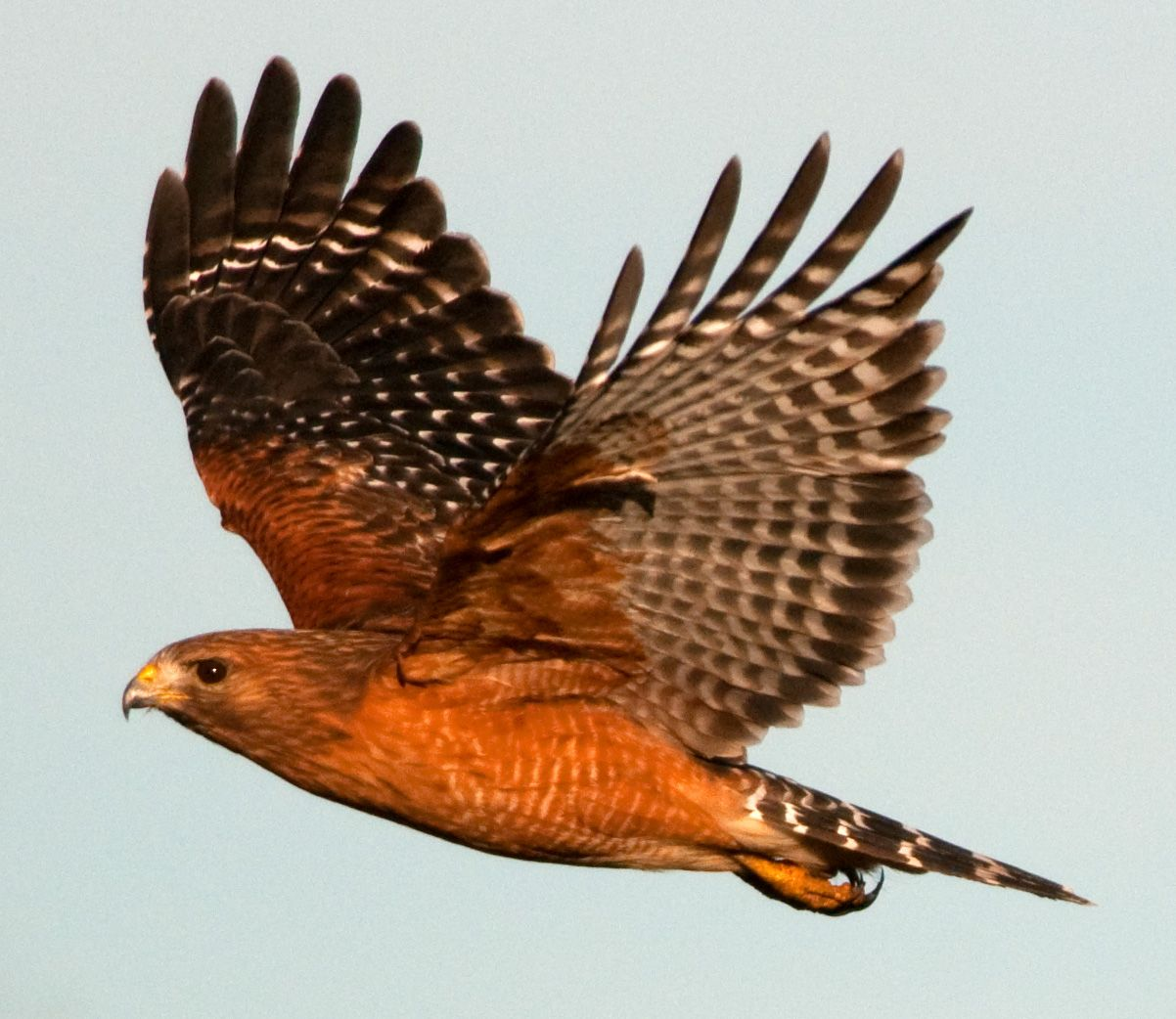 red-shouldered hawk flying | Red Shouldered Hawk in flight...
