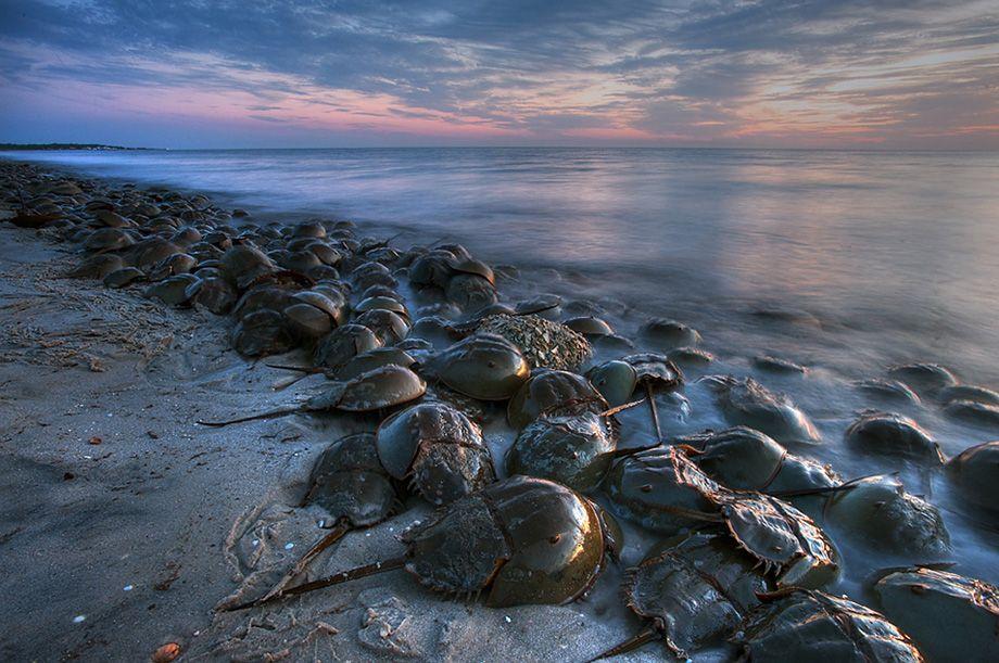 United States Horseshoe Crab Ancient Animals Nature