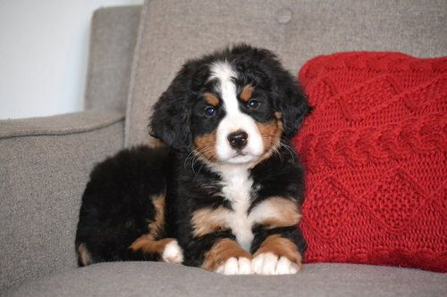 Beautiful Bernedoodle Pups For Sale Bernedoodle