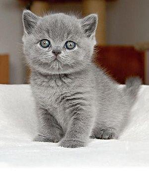 British shorthair cat breeders alberta