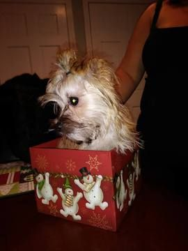 Morkie Puppy For Sale In Taunton Ma Adn 56373 On Puppyfinder Com