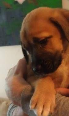 Valentines Day Puppies English Mastiff Irish Wolfhound St Weilers