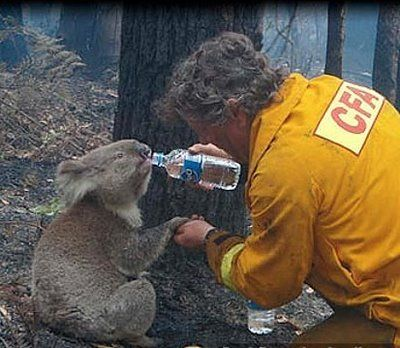 Man gives wild koala water after brush-fire. (Holding his little paw!!!!)