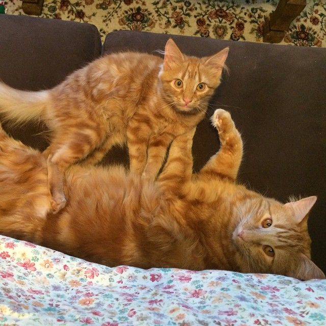 Cat Finds His Mini Me Decides To Adopt Him And Raise As His Own Cat Meeting Ginger Cats Cat Website
