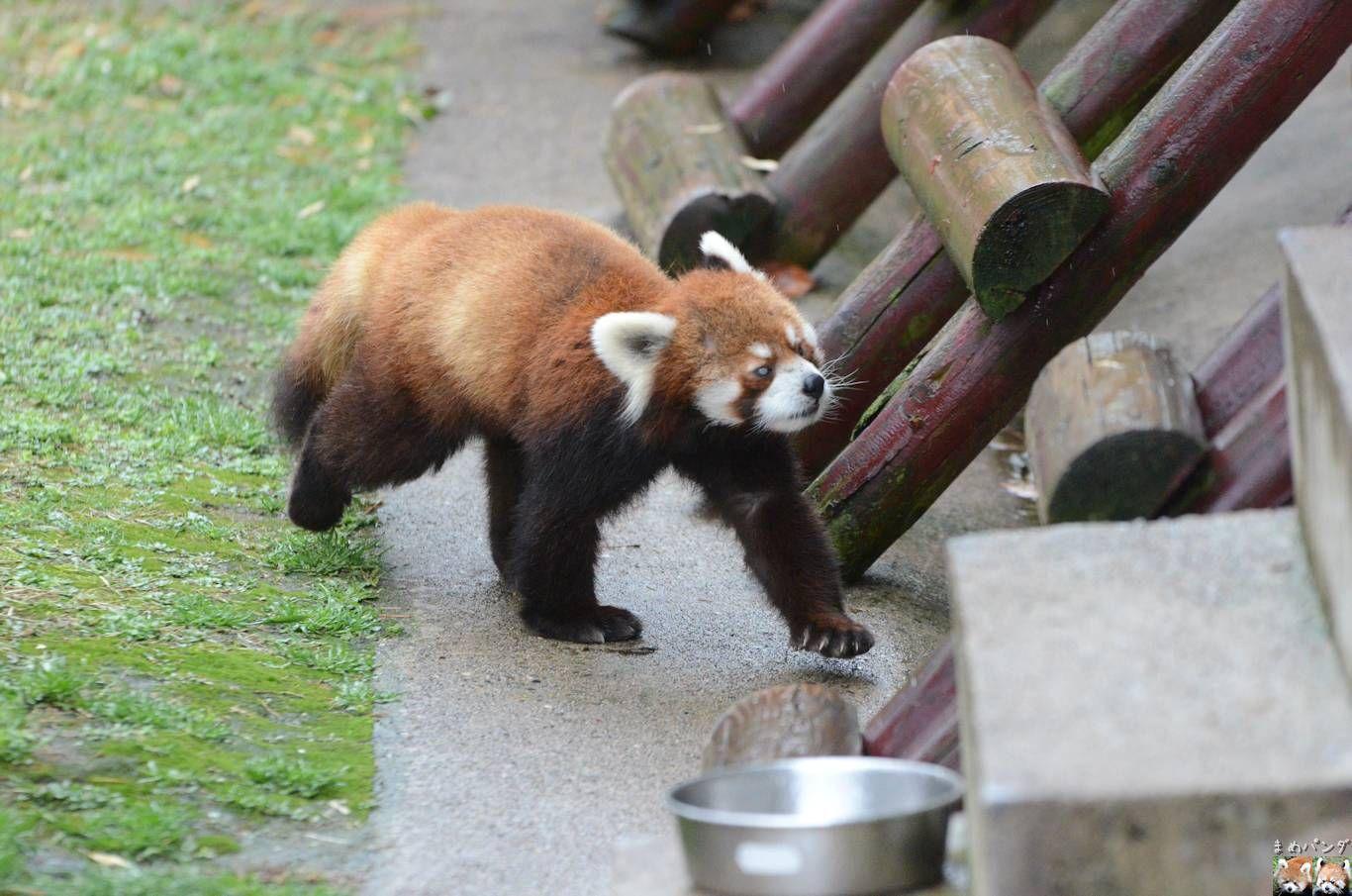 Red panda at Oomoriyama Zoo, Japan.