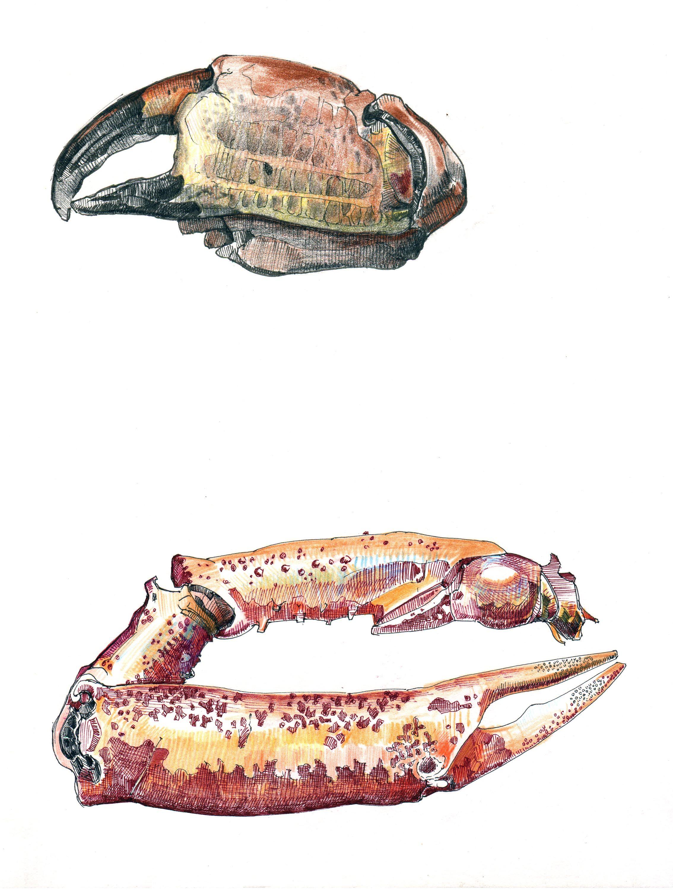 Crab claw sketchbook studies. UK Artist: Duncan Cameron