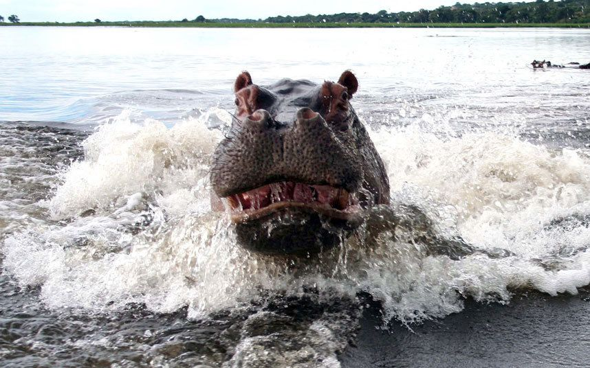 A hippo about to attack a safari boat in Botswana. Looking like something from the film Jaws, the protective mother rounded on the tour when they got too close to her calf.
