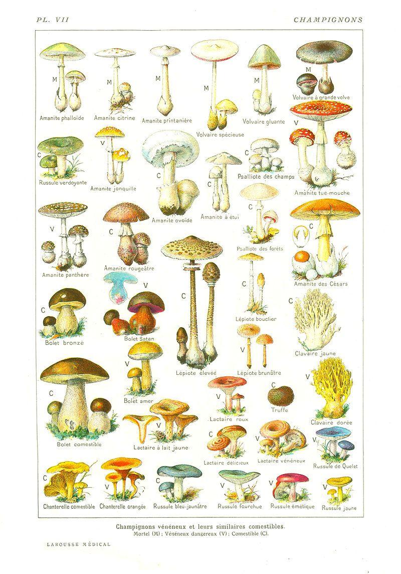 Champignons vénéneux et leurs similaires comestibles _ Illustration ...