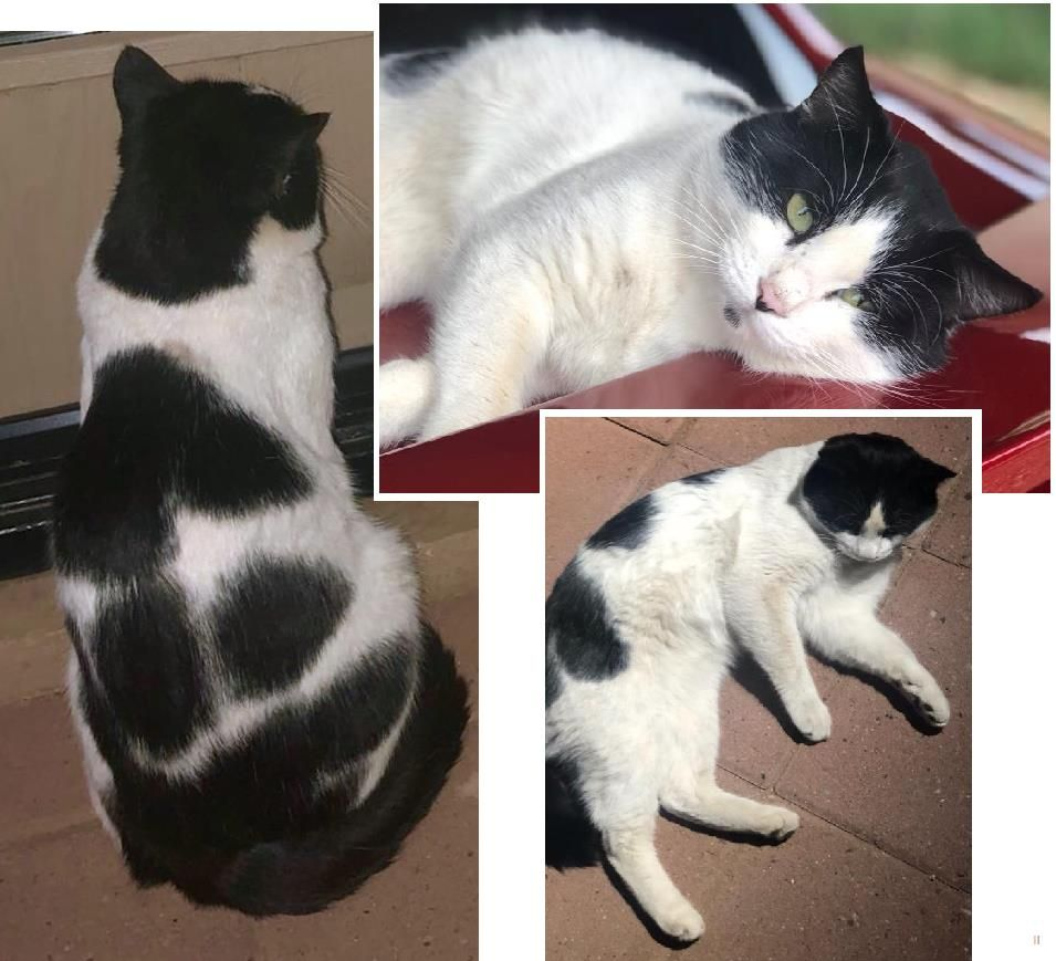 Lost Cat Male Tempe, AZ, USA 85281 Cats, Losing a