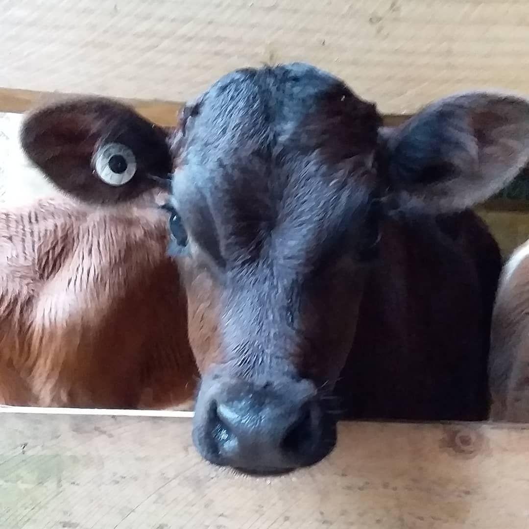 Wishing Everyone A Great Weekend Calf Calfs Calf Babyfarmanimals Babycows Babycow Babyanimals Farmyard Farmbabies Farmsanctuarylife Baby Farm Animals